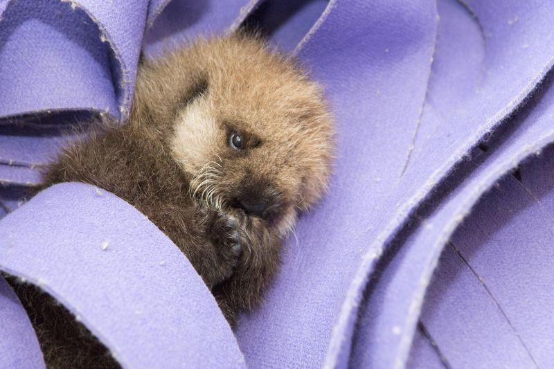 Shedd_Sea Otter Pup_4