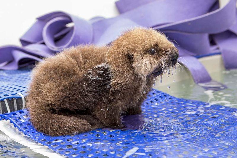 Shedd_Sea Otter Pup_16