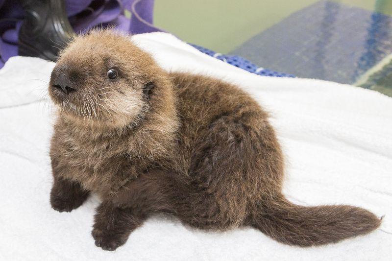 Shedd_Sea Otter Pup_28