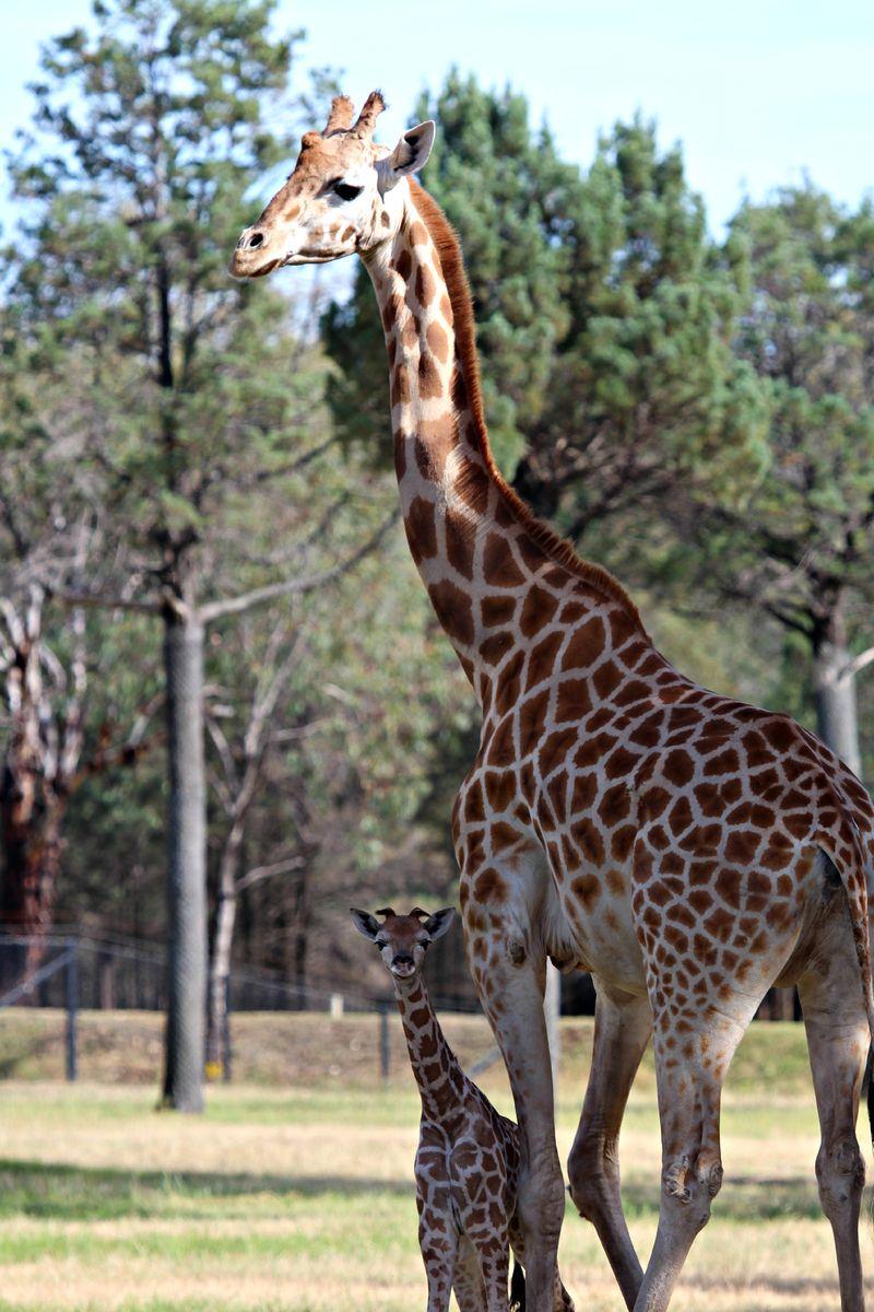 Ajali giraffe calf SM (3)