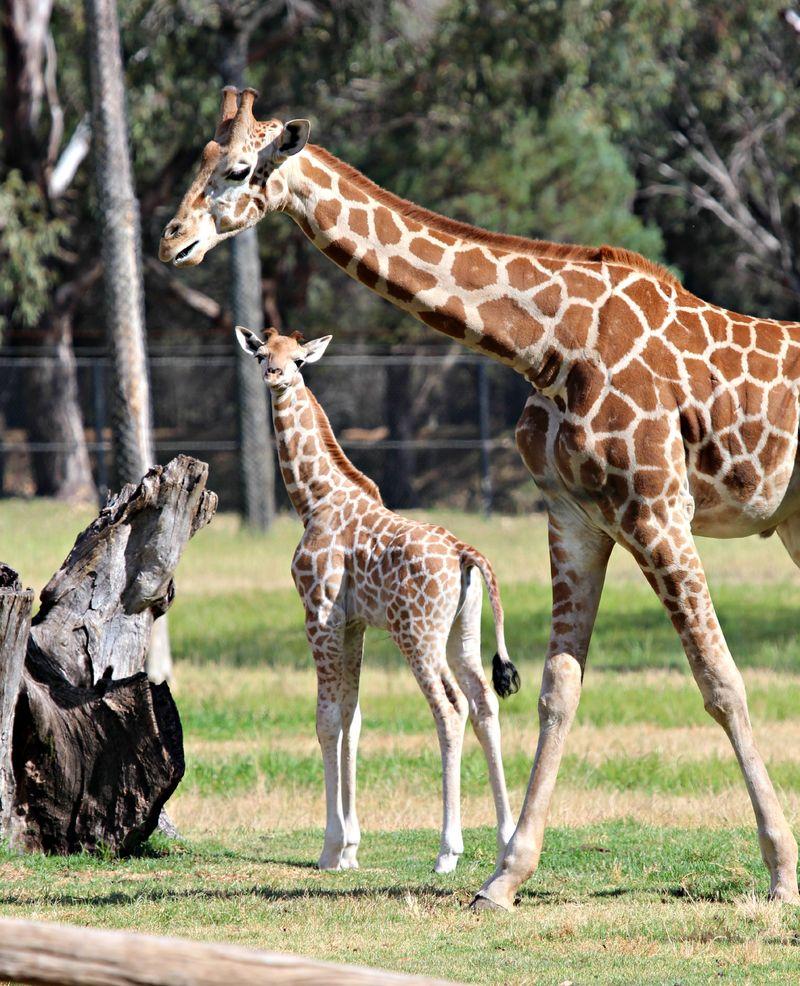 Ajali giraffe calf SM (1)