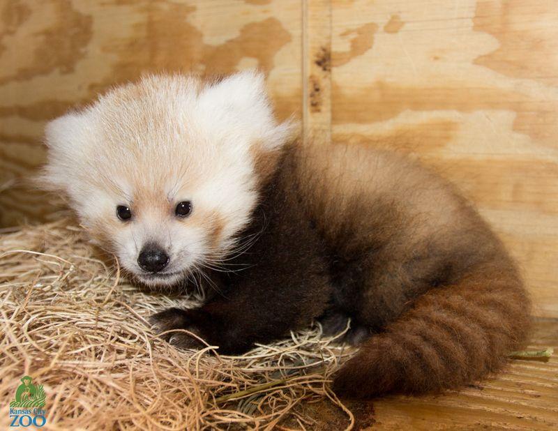KC ZOO Red Panda-3