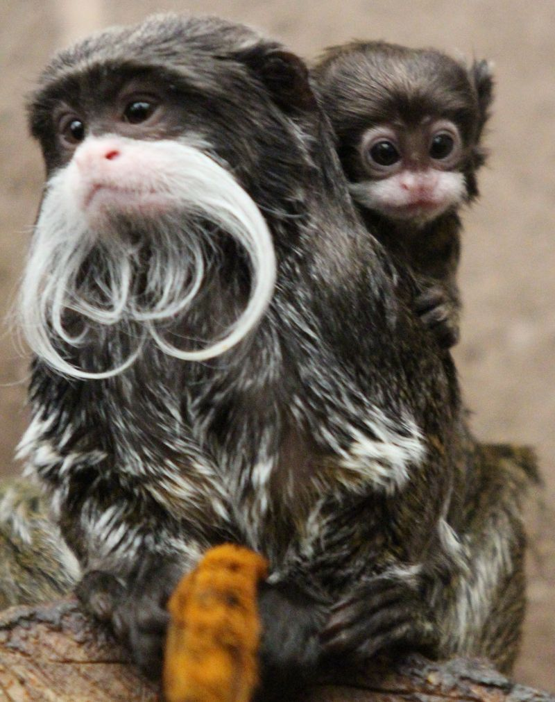 (1)  Movember is in full swing at Belfast Zoo with the arrival of an emperor tamarin!