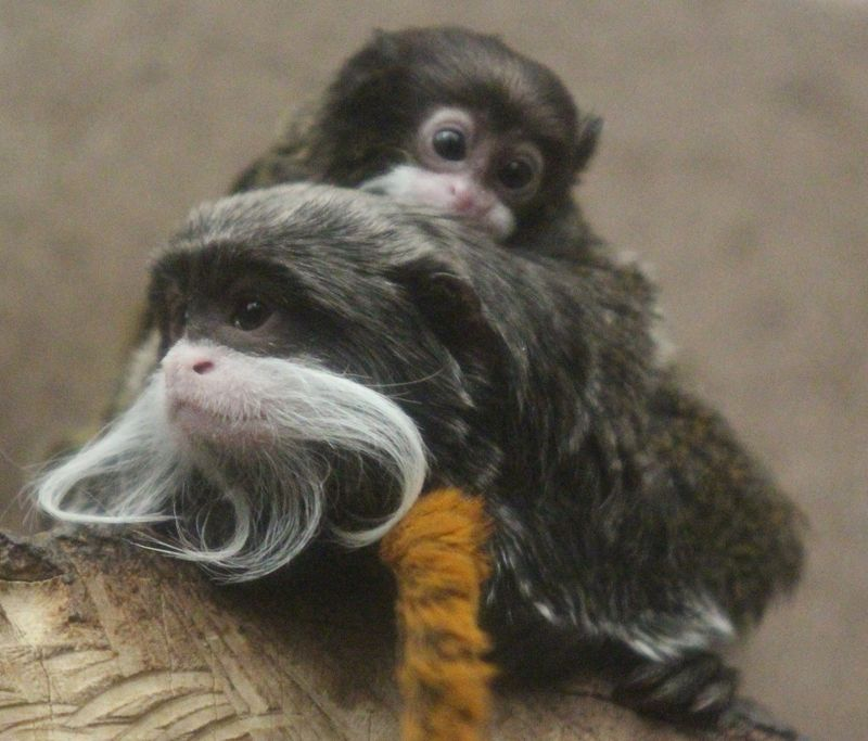 (3)  These primates live in family groups and, while the mother nurses her offspring, it is the father who carries and cares for them.