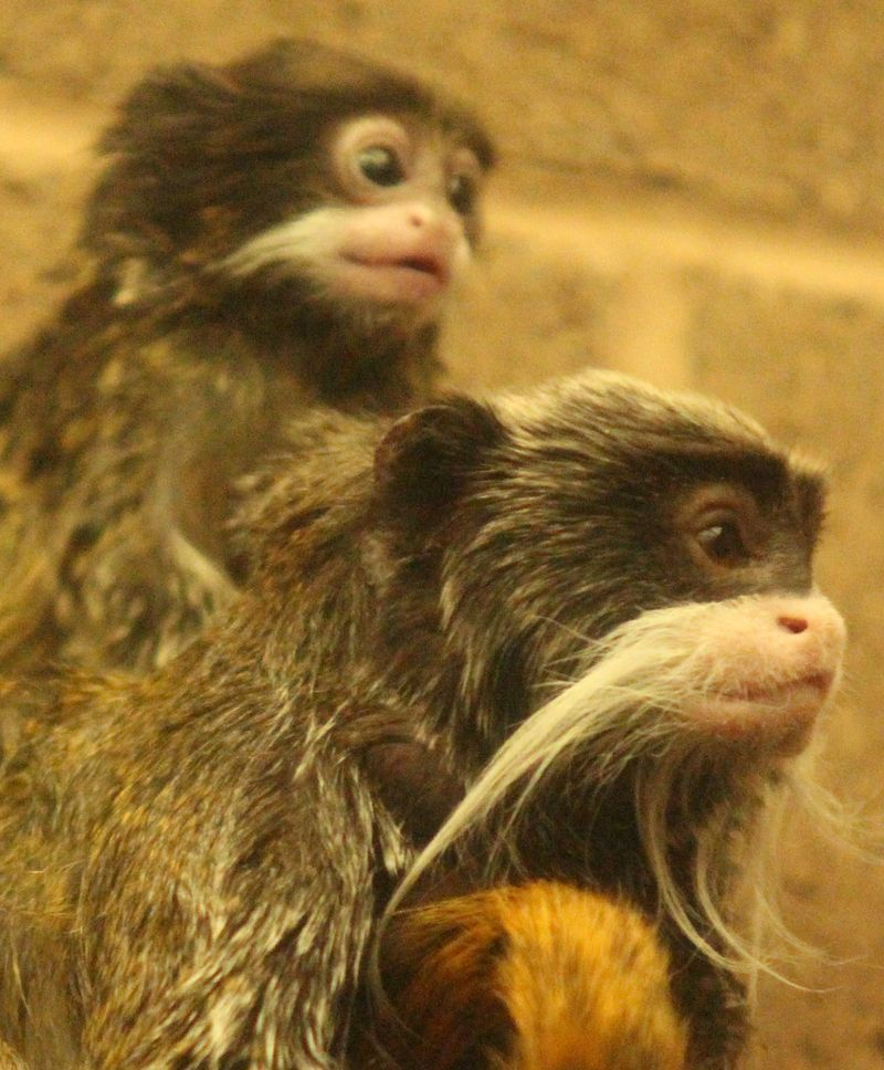 (6)  You can support the care of Lucky the emperor tamarin by taking part in the animal adoption scheme.