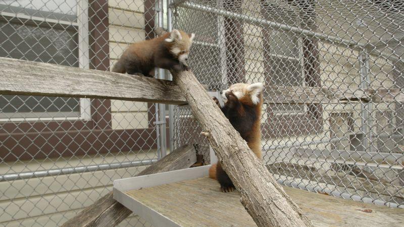 Ep4 Red Pandas FINAL FINISHING MASTER.Still022
