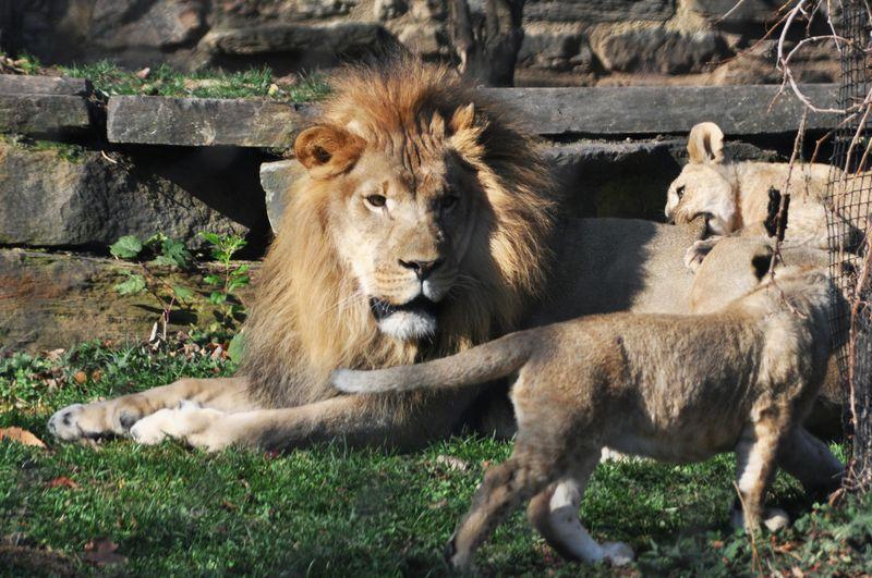 Lion Reunion 2