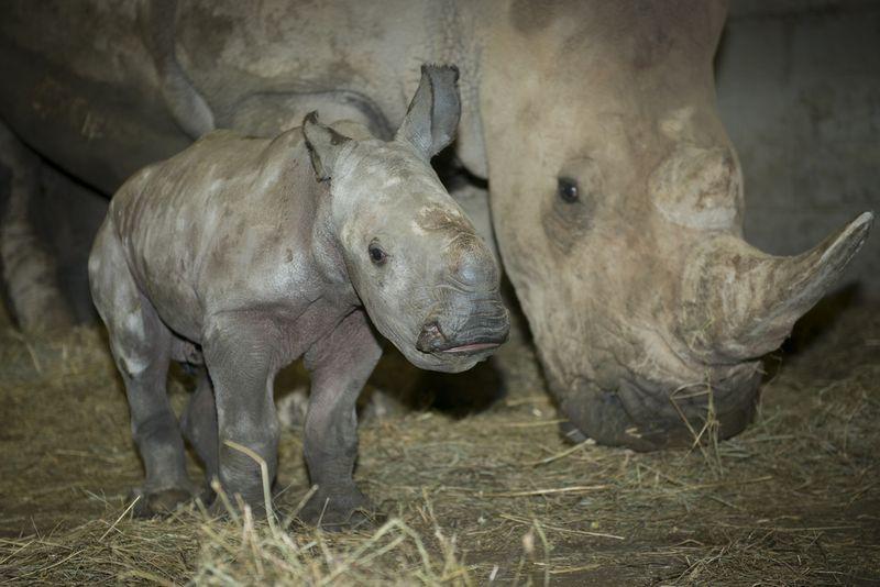 Rhino (White) Calf 3778 - Grahm S. Jones, Columbus Zoo and Aquarium