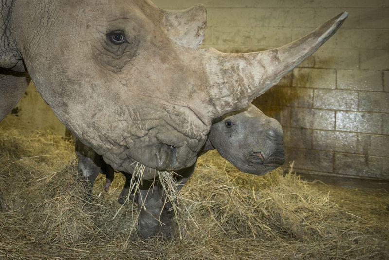Rhino (White) Calf 3696 - Grahm S. Jones, Columbus Zoo and Aquarium