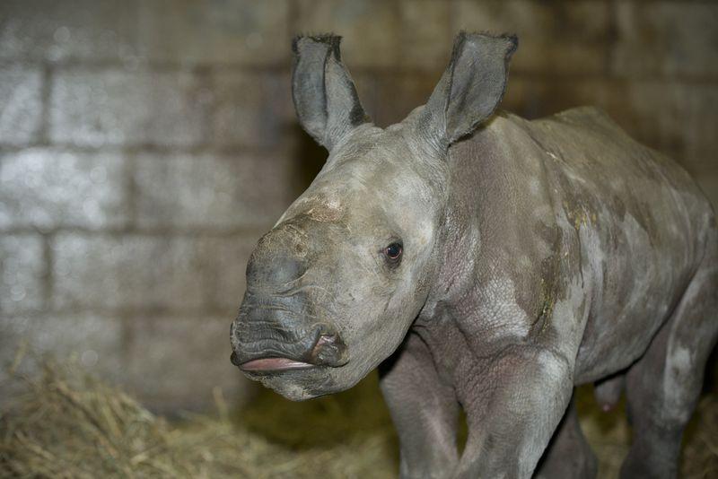 Rhino (White) Calf 3742 - Grahm S. Jones, Columbus Zoo and Aquarium