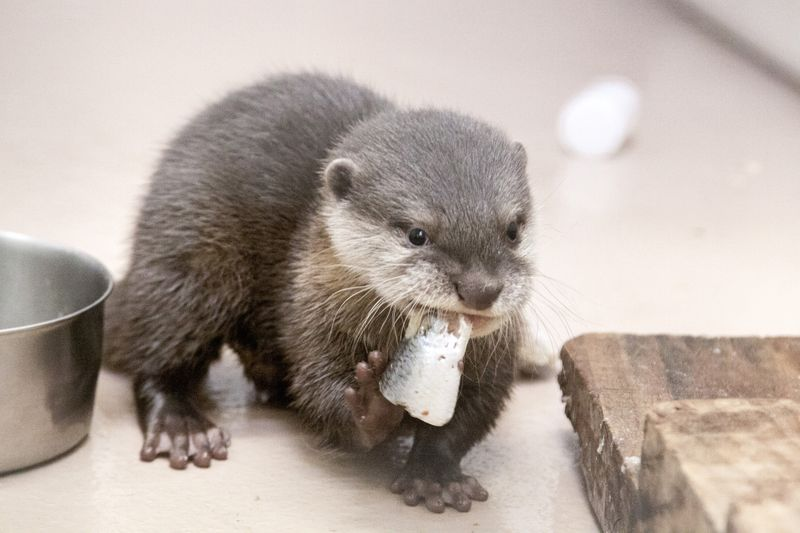 Small-clawed-otter_Jilin_01