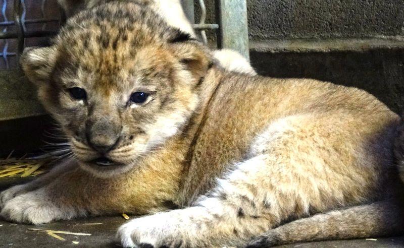 Lion Cub_11102014_AW (2)