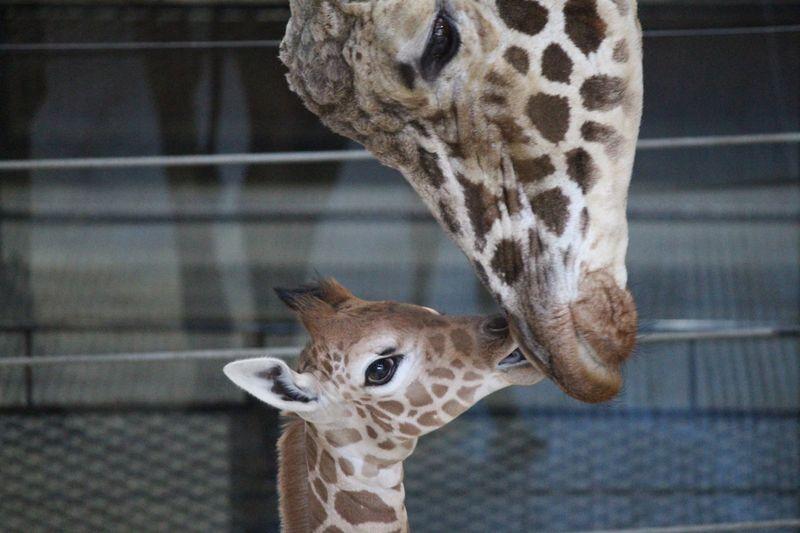 OmahaHenryDoorlyZoo_GiraffeCalf_2