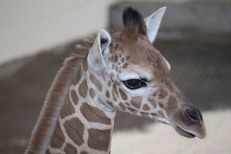 OmahaHenryDoorlyZoo_GiraffeCalf_4