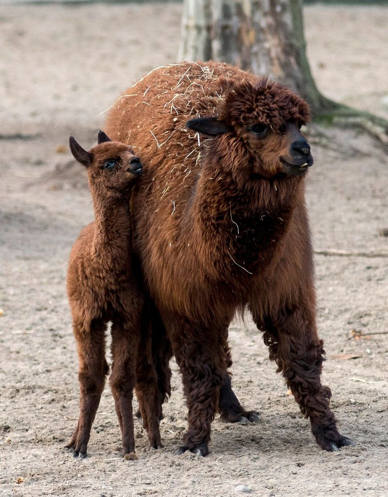 1 alpaca
