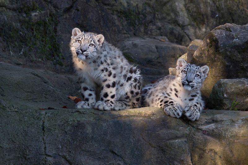 ZooZurich_SnowLeopards_Peter Bolliger_2