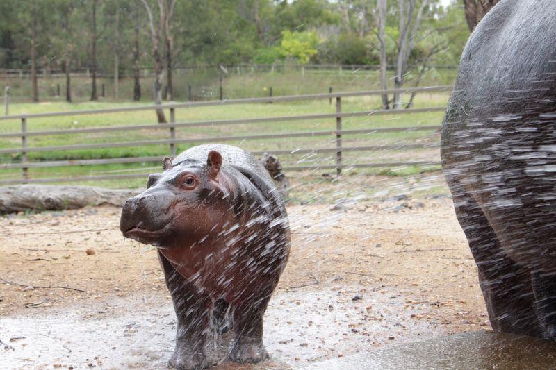 Hippo calf enjoying being hosed_December2014_MT (45)