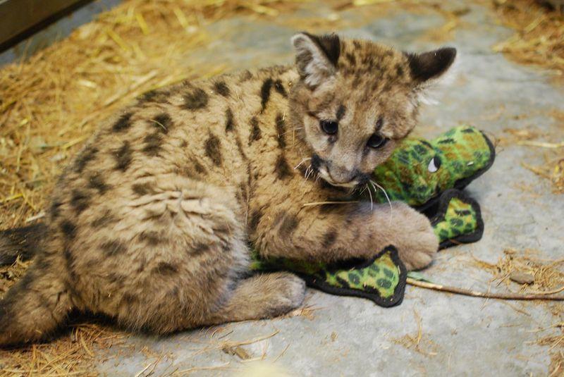 Cougar Cubs Dating-Website