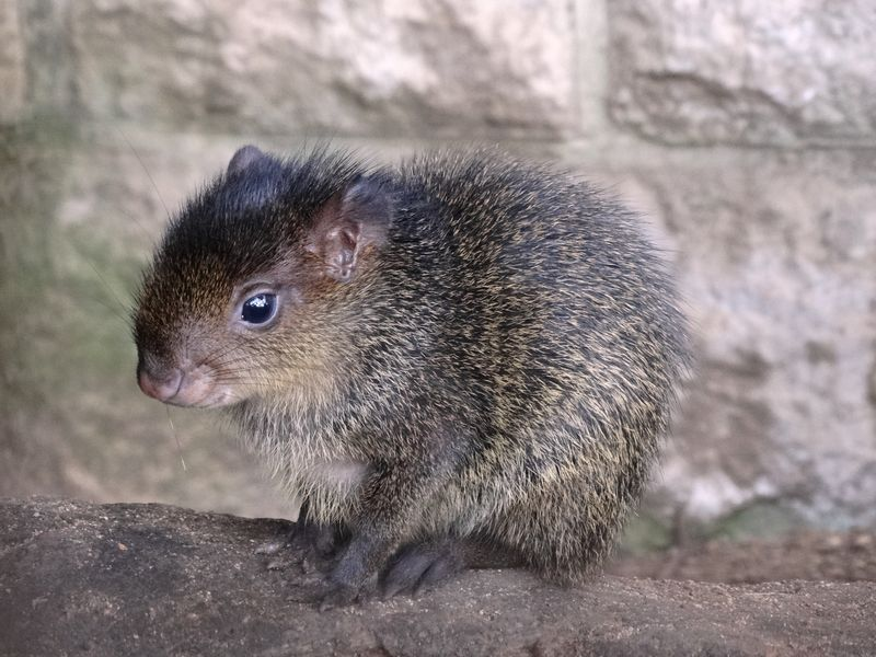 Close up of baby Agouti on log