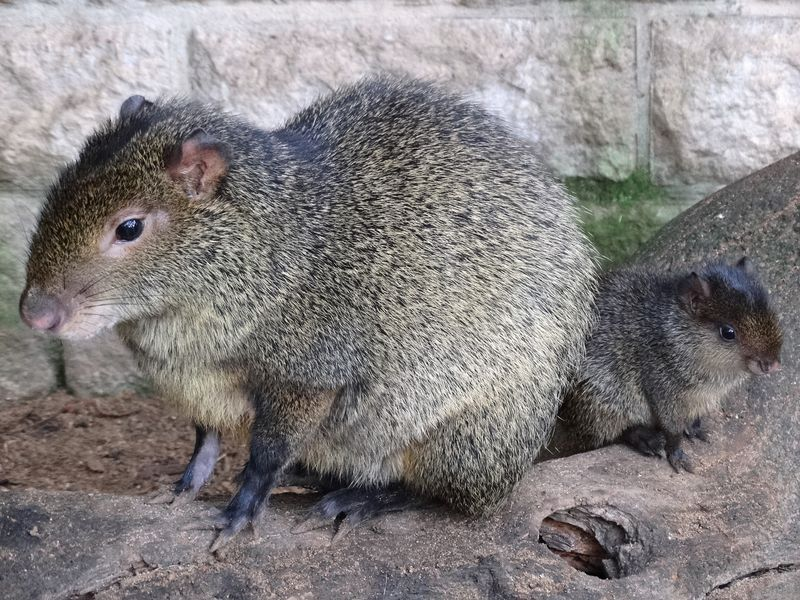 Agouti Mother and baby close up