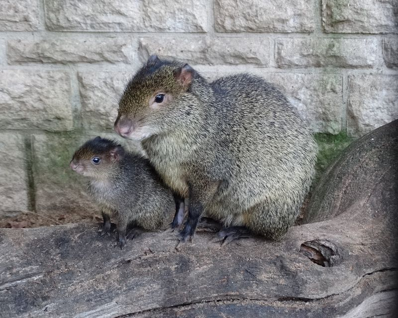 Mother & baby Agouti perching on log
