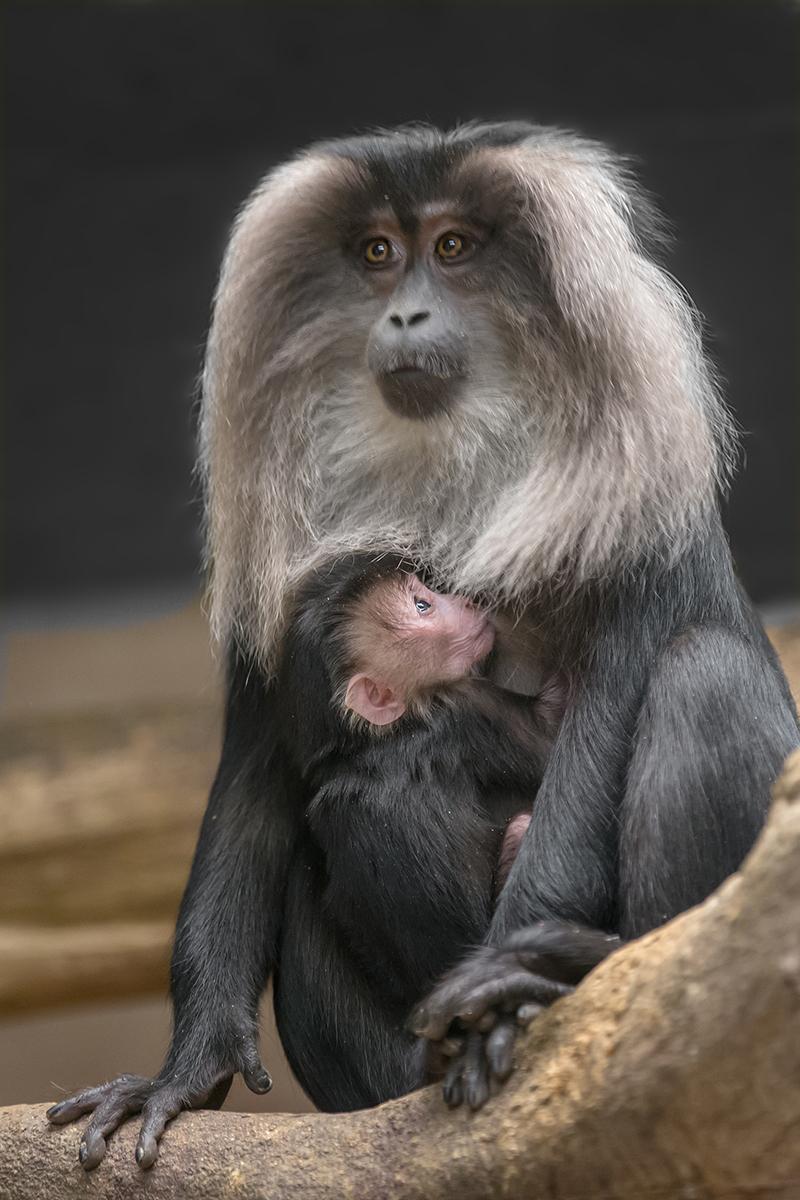 2 macaque