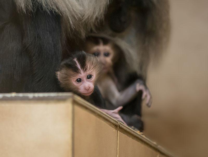 3 macaque
