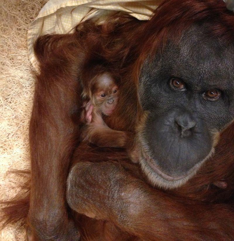Orangutan_mom_Merah_and_her_newborn_low_res_Dec_16_Stephanie_Braccini_Saint_Louis_Zoo