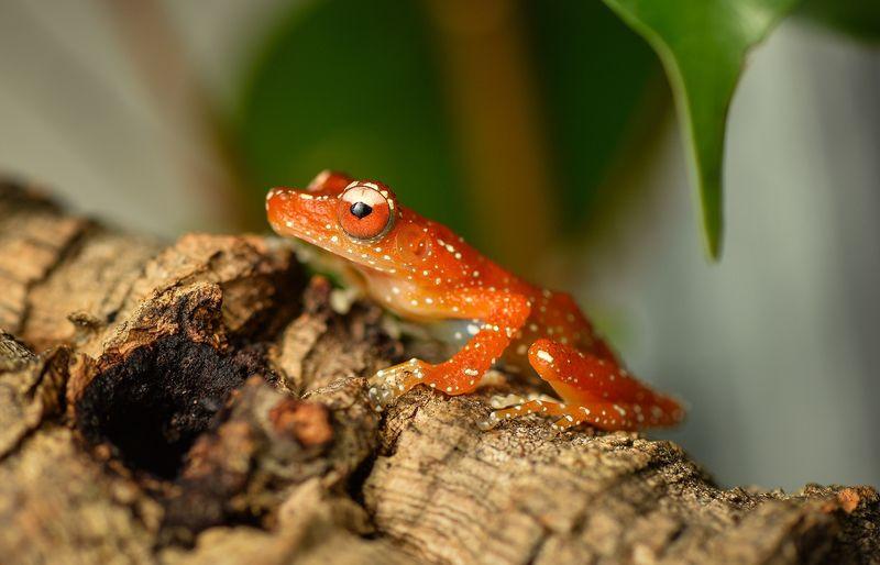 Cinammon frog Nyctixalus pictus (10)