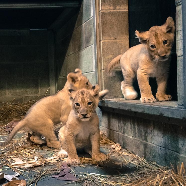 Lioncubs-4-lo
