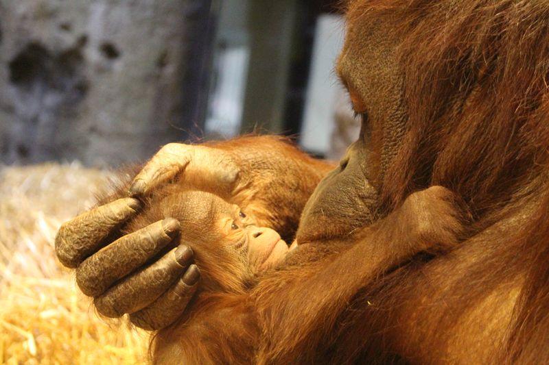 Baby Orangutan (2)