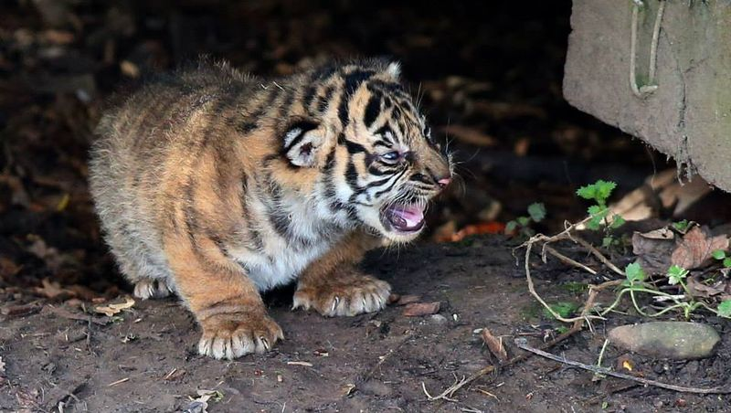 Rare Tiger Cubs Venture Out of Den