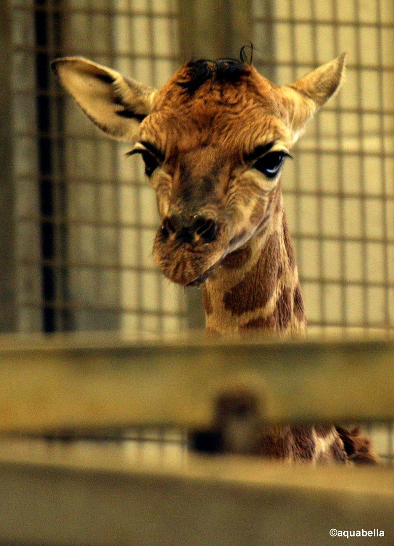 2015 01 PZ giraffe baby by Miriam Haas