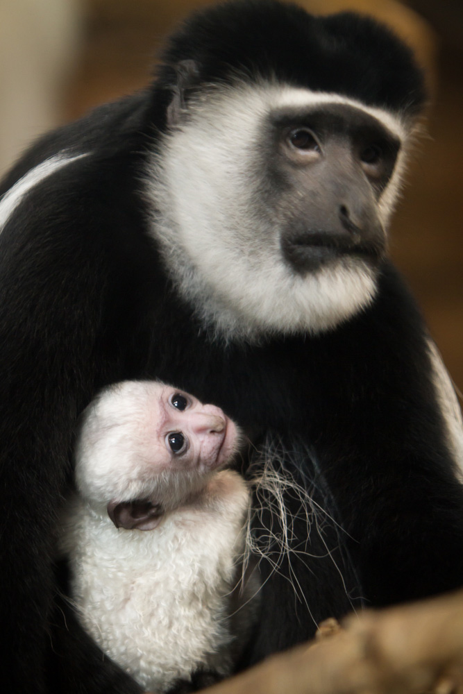 Colobus-monkey112832_Jan-2015_Ethan-Riepl-Saint-Louis-Zoo_web