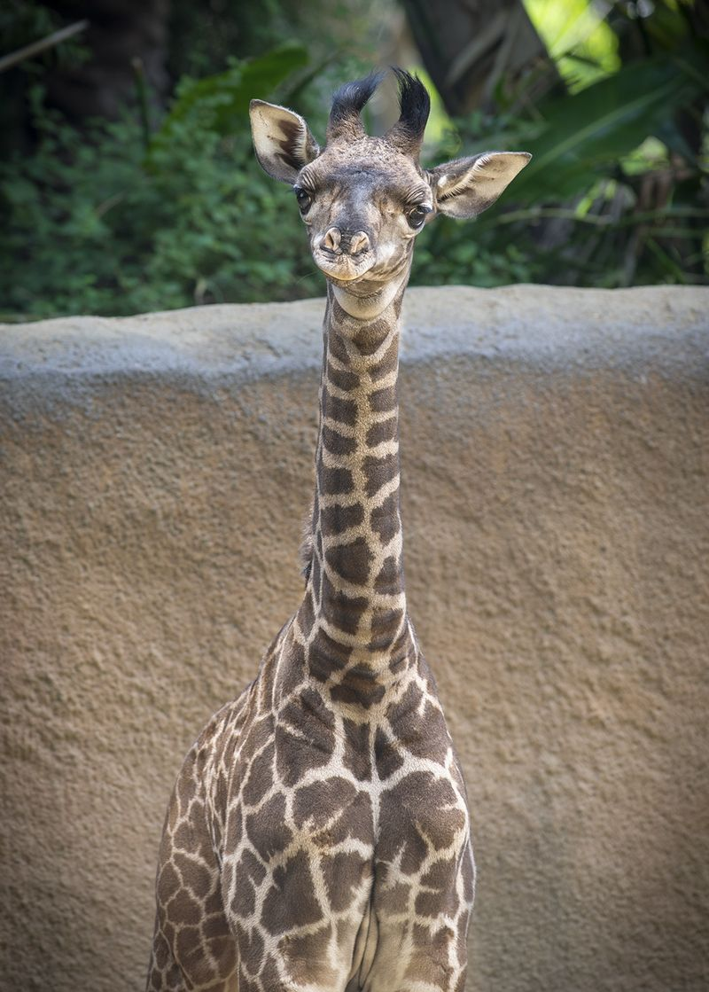 L.A. Zoo Loves Leo the Giraffe Calf