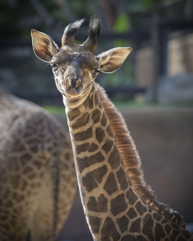Giraffe Baby Leo JEP_9090[1]
