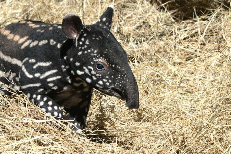 Asia malayan tapir tembikai 4 feb 11 2015