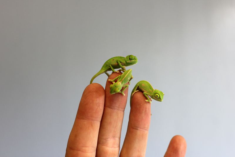 Chameleon Hatchlings 3_Photo by Paul Fahy
