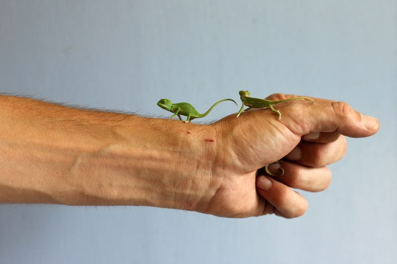 Chameleon Hatchlings 5_Photo by Paul Fahy