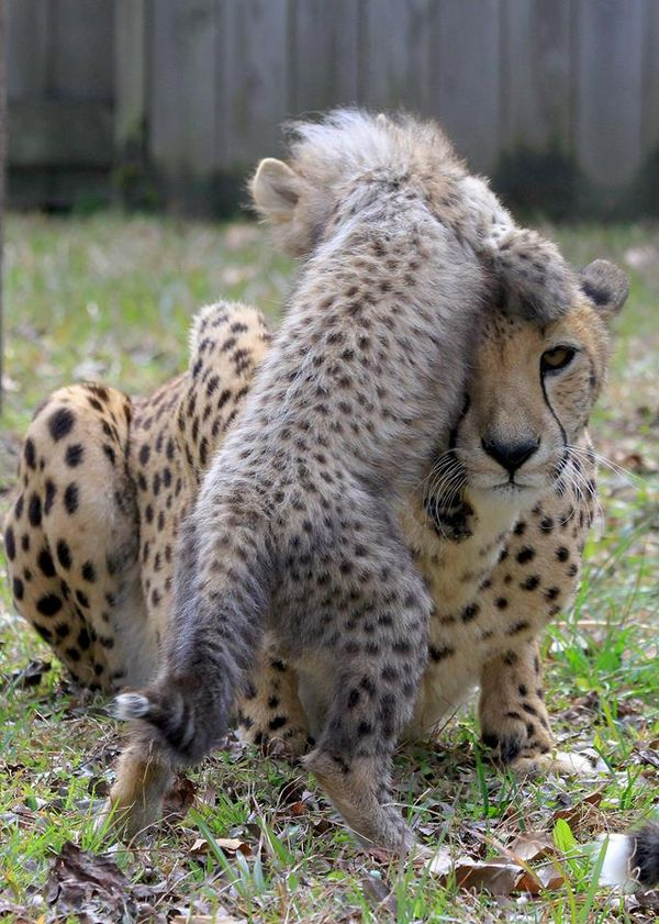 Cheetah Cubs Test Mom's Patience