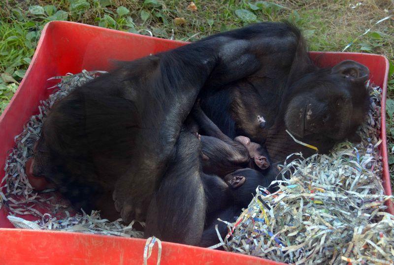 Baby Chimps_6