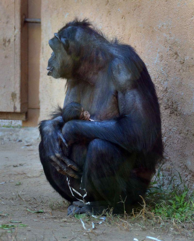Baby Chimps_7