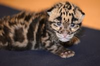 Tampa's Clouded Leopard Kitten Is a Superstar