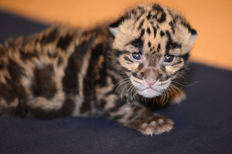 Asia clouded leopard cub 4b mar 24 2015
