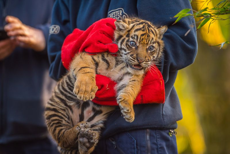 One of the tiger cubs is carried by a keeper to its health check up (1)