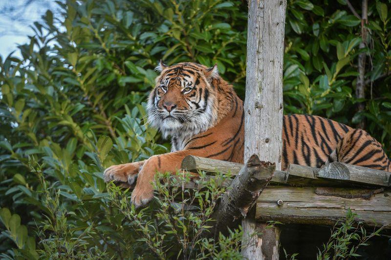 Tiger mum Kirana (1)