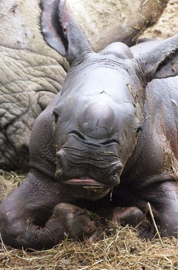 White Rhino Born at Cotswold Wildlife Park