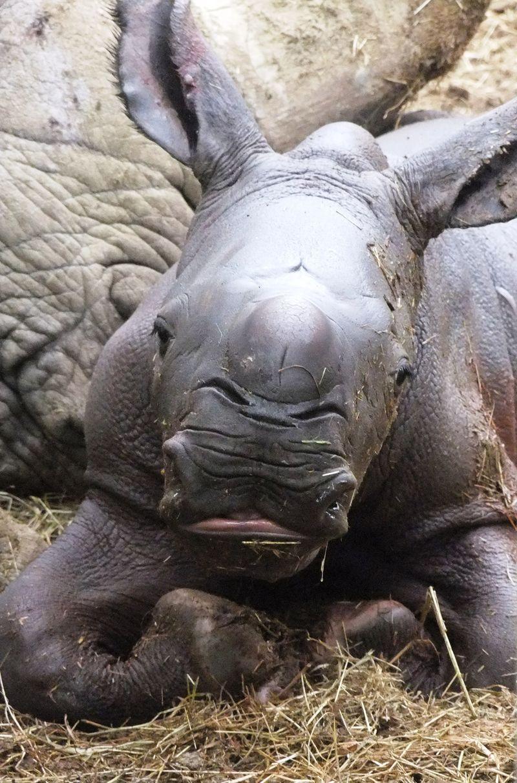 Baby Rhino lying down