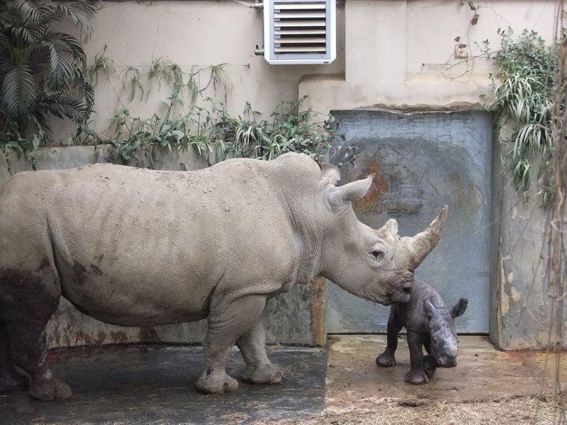 Baby Rhino with Ruby in Rhino House 2