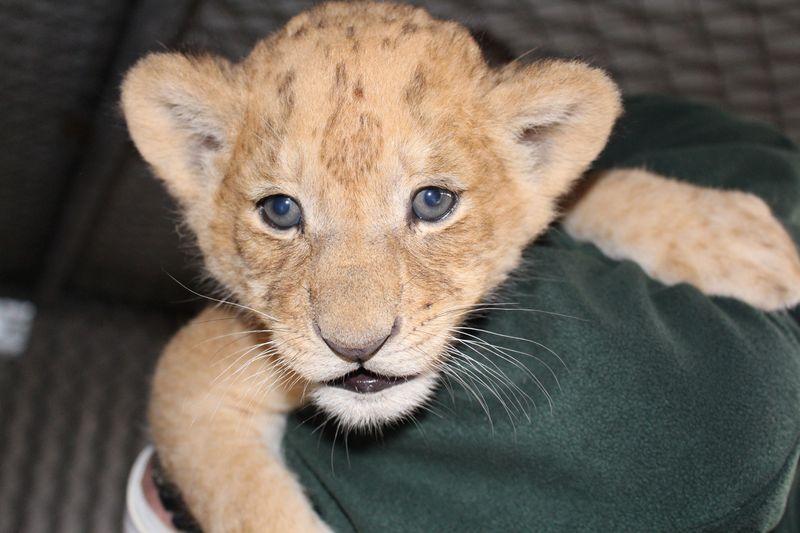 Lion cubs vaccination_SM_7.4.15 (38)